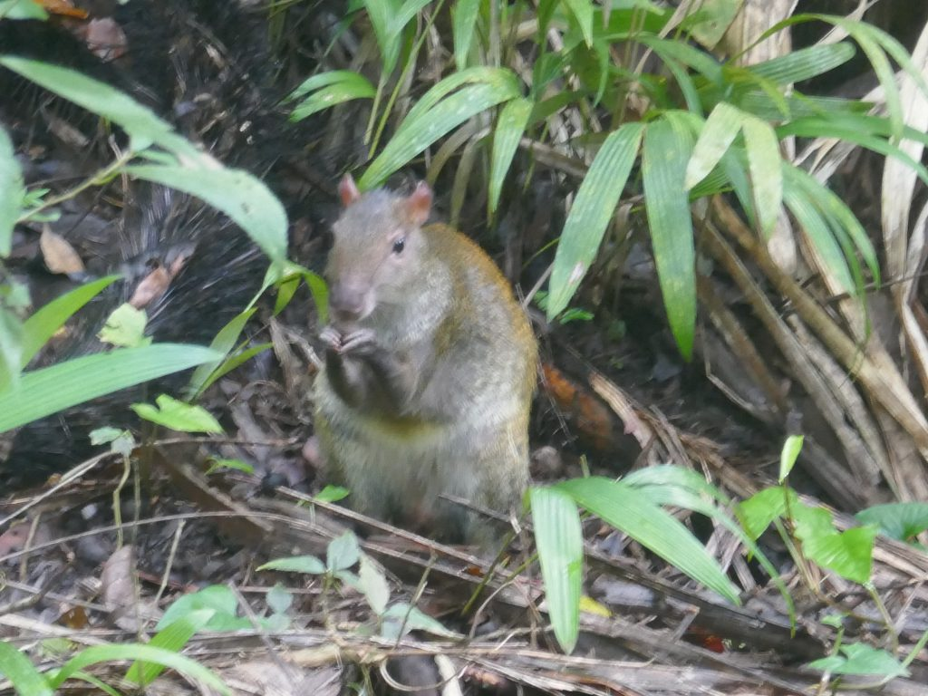 agouti manuel antonio 1024x768 Costa Rica : A la découverte des animaux sauvages