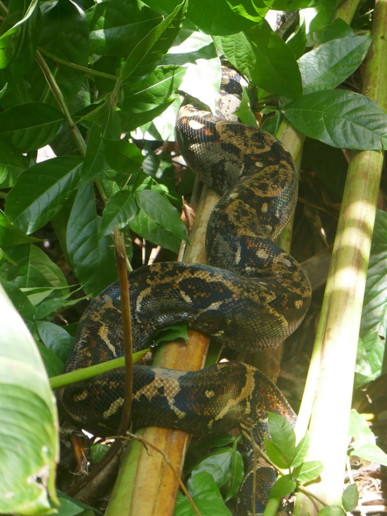 boa parc manuel antonio e1570071555425 768x1024 Costa Rica : A la découverte des animaux sauvages