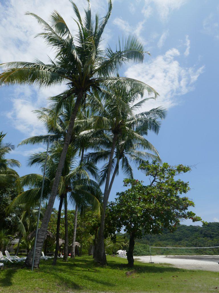 cocotier samara e1570070762459 768x1024 Costa Rica : A la découverte des animaux sauvages