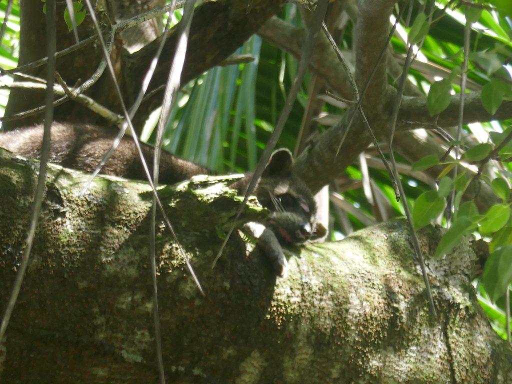 raton laveur 1024x768 Costa Rica : A la découverte des animaux sauvages