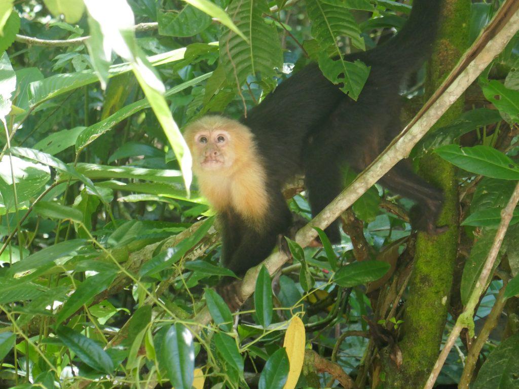 singe capucin 1024x768 Costa Rica : A la découverte des animaux sauvages