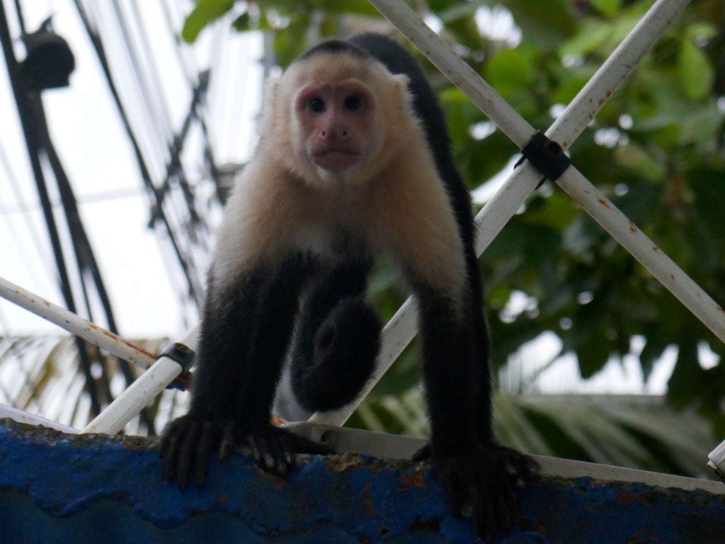 singe capucin quepos 1024x768 Quepos, dernière étape au Costa Rica ... pour le moment !
