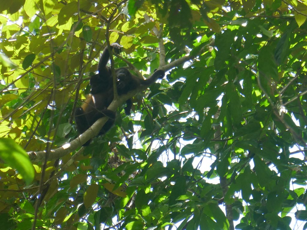 singe parc manuel antonio 1024x768 Costa Rica : A la découverte des animaux sauvages