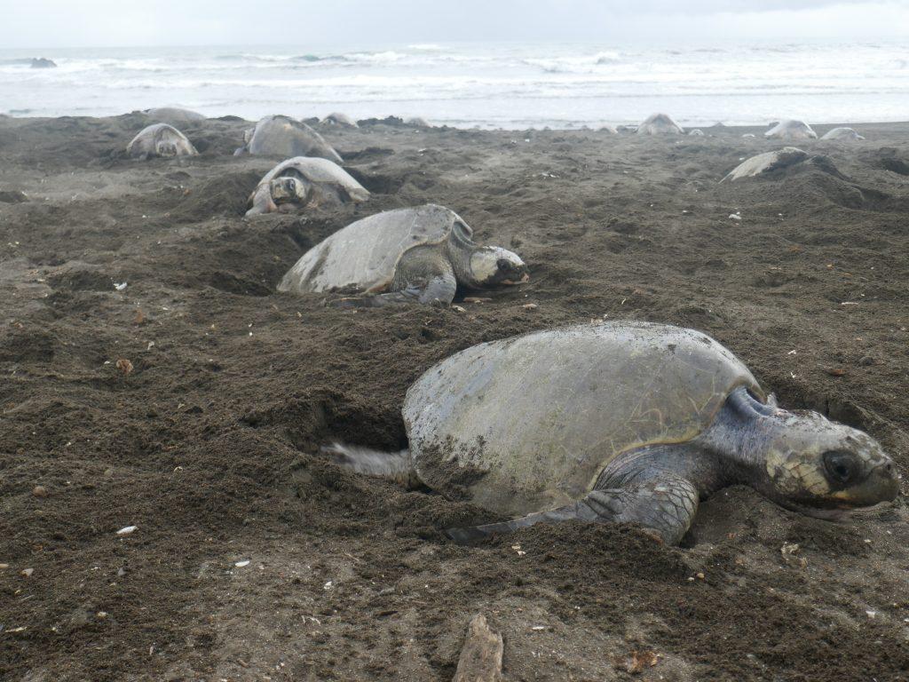 tortues ostional 1024x768 Costa Rica : A la découverte des animaux sauvages