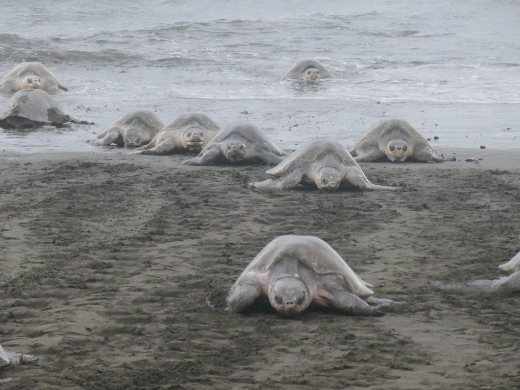 tortues vertes 1024x768 Costa Rica : A la découverte des animaux sauvages