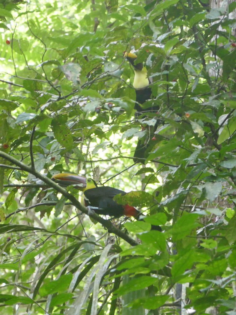 toucan parc manuel antonio e1570071627690 768x1024 Costa Rica : A la découverte des animaux sauvages