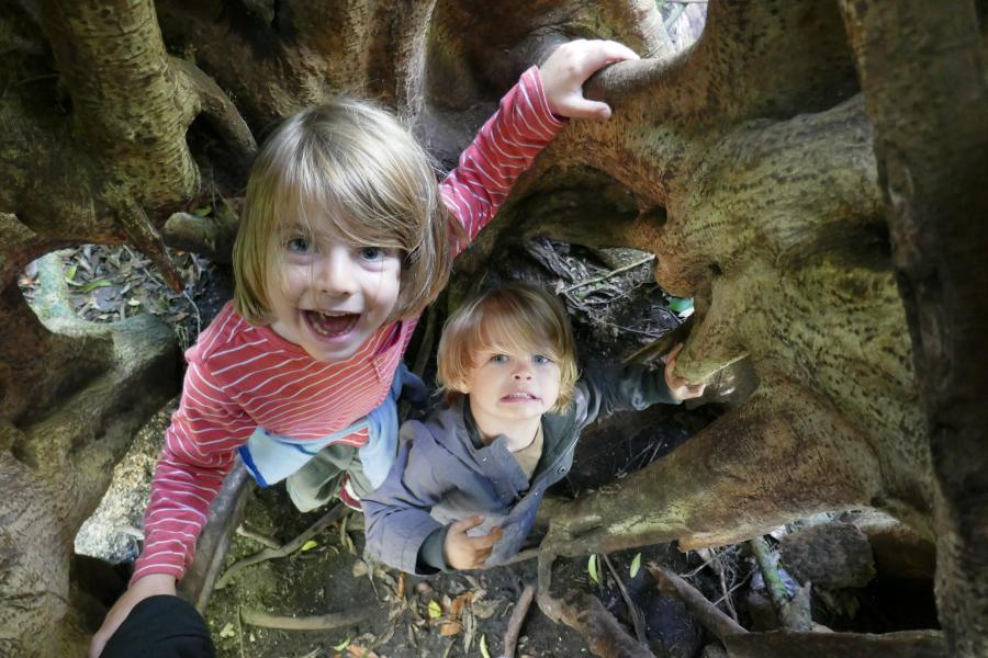 Ficus tree Monteverde Un noël au Costa Rica