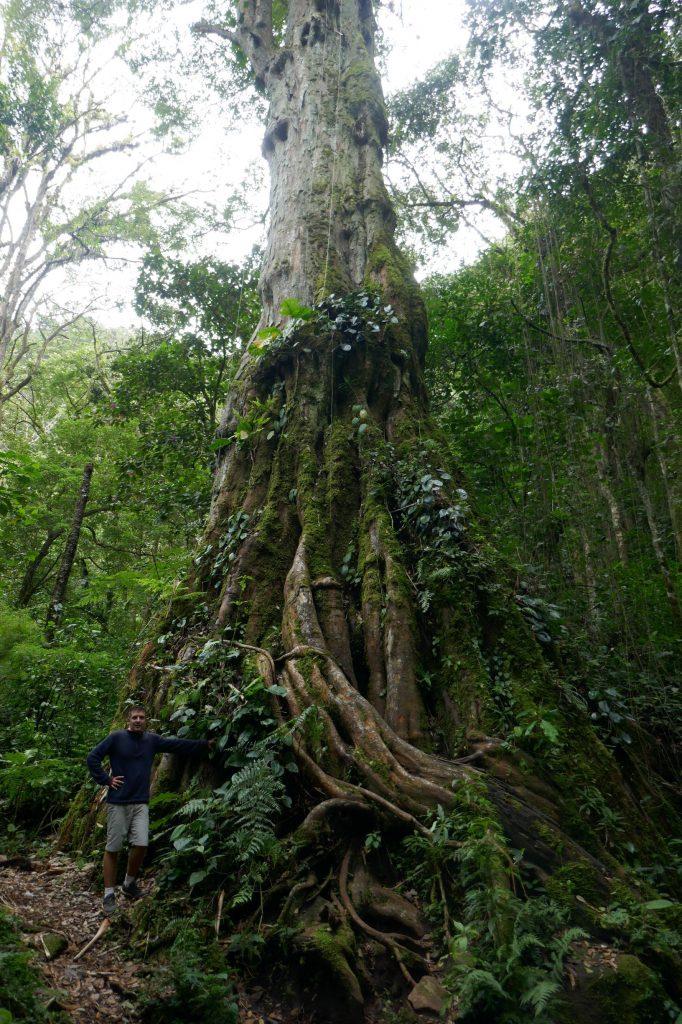 arbre millenaire boquete 682x1024 A la découverte de la jungle du Panama